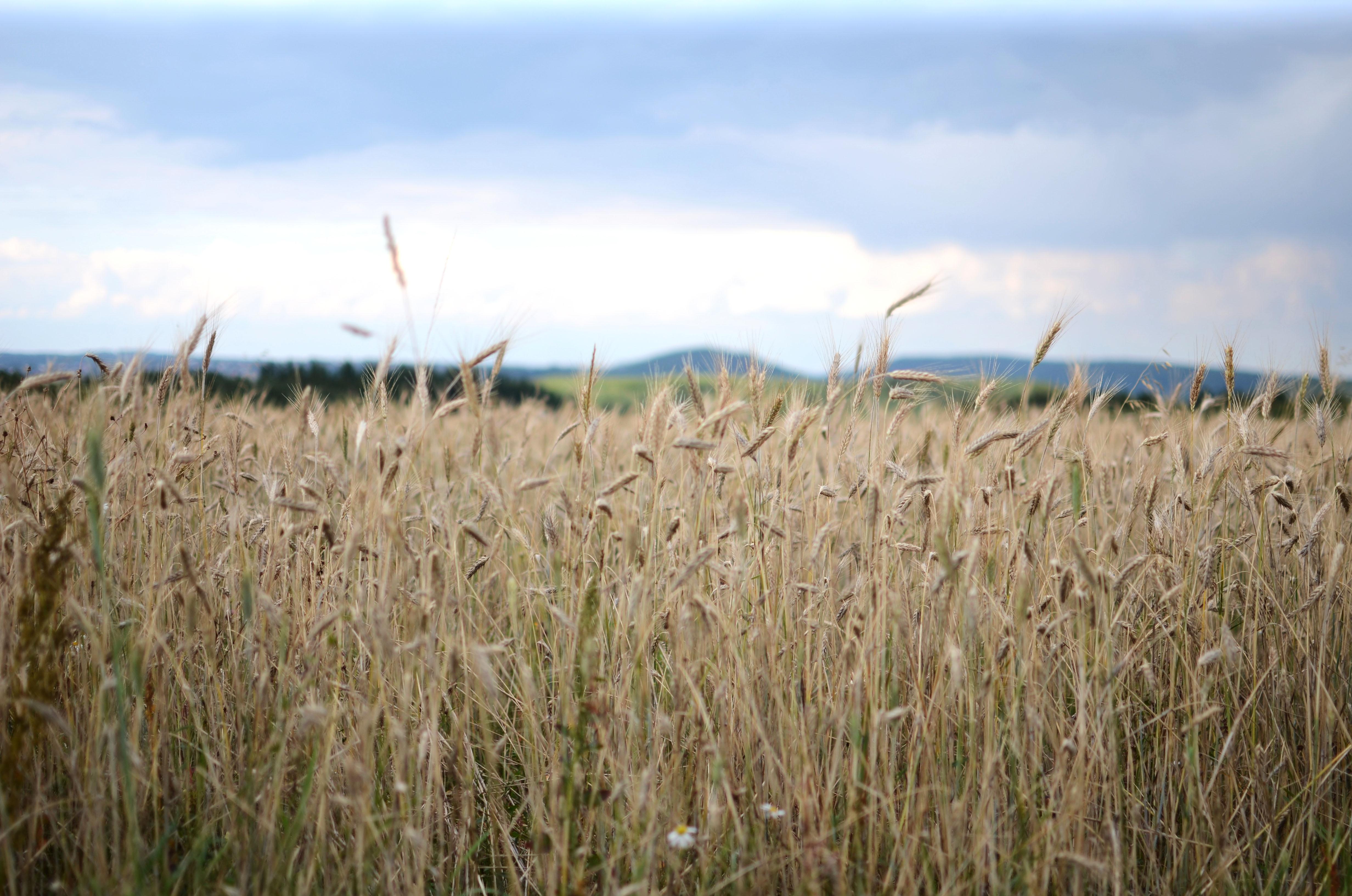 Wheatfild